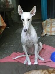 Sherpa, chien Lévrier espagnol