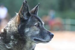 Chausson, chien Chien-loup tchèque