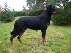Canelle, chien Beauceron