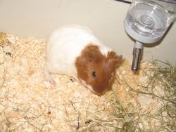 Peguy, rongeur Cochon d'Inde