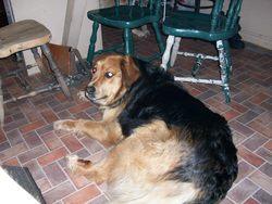 Belle, chien Bouvier bernois