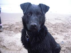 Kawa, chien Labrador Retriever