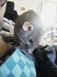 Sheyenne, rongeur Rat