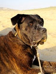 Kaly, chien Cane Corso