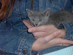 Monsieur V, chat Bleu russe
