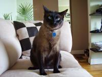 Miou-Miou, chat Siamois