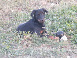 Funny, chien Beauceron