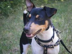 Zara, chien Jack Russell Terrier