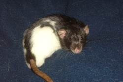 Itchy, rongeur Rat