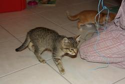 Diésèle, chat Gouttière