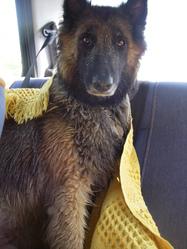 Mila, chien Berger belge