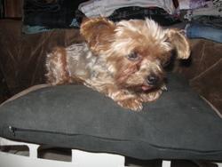 Minnie, chien Yorkshire Terrier