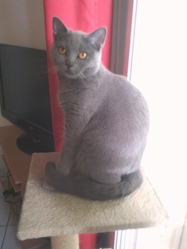 Emeraude, chat Chartreux