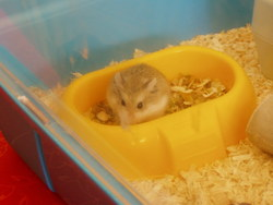 Pirate , rongeur Hamster