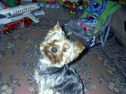 Vyoupi, chien Yorkshire Terrier