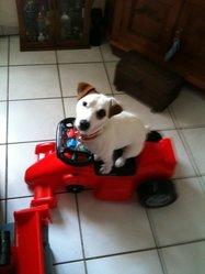 Diablo, chien Jack Russell Terrier