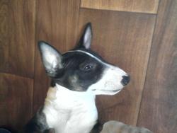 Baia, chien Bull Terrier