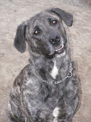 Bakura, chien Cão fila de São Miguel