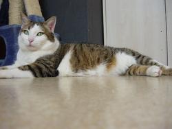 Maxou, chat Européen