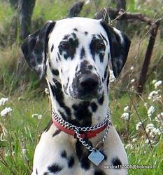 Eliott', chien Dalmatien