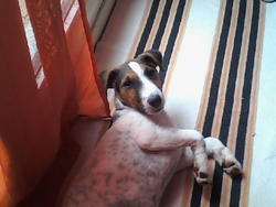Missy, chien Fox-Terrier