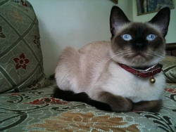Duchaisse, chat Siamois