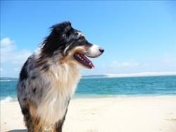 Boogie, chien Berger australien