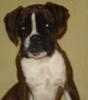 Athena, chien Boxer