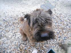 Roukine, chien Berger de Brie
