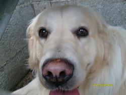 Asco, chien
