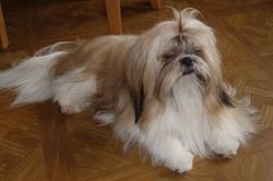 Elios, chien Shih Tzu