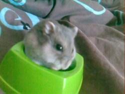 Patrick, rongeur Hamster