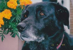 Fanie, chien Labrador Retriever
