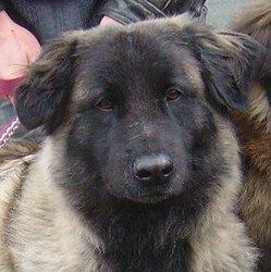 Zorina, chien Chien de montagne portugais
