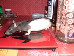 Shaun, rongeur Rat