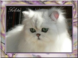 Lolita Lempicka, chat Chinchilla