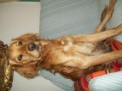 Booba, chien Golden Retriever