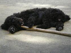 Réglisse, chien Caniche