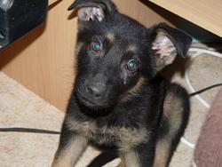 Eylan, chien Berger allemand