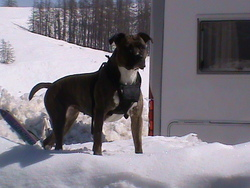 Caina, chien American Staffordshire Terrier