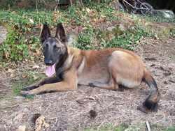 Enox, chien Berger belge