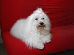 Cristal, chien Bichon maltais