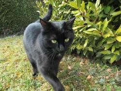 Milla, chat Européen