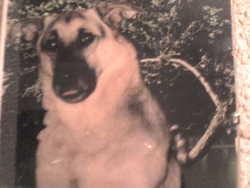 Ziggy, chien Berger allemand