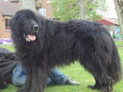 Balou, chien Terre-Neuve