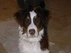 Colly, chien Border Collie