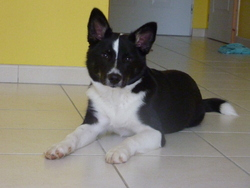 Granit, chien Berger d'Islande