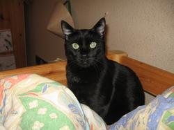 Puma, chat Gouttière