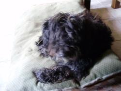 Jappy, chien Puli