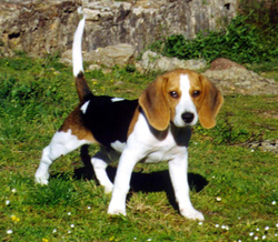 Safran, chien Beagle